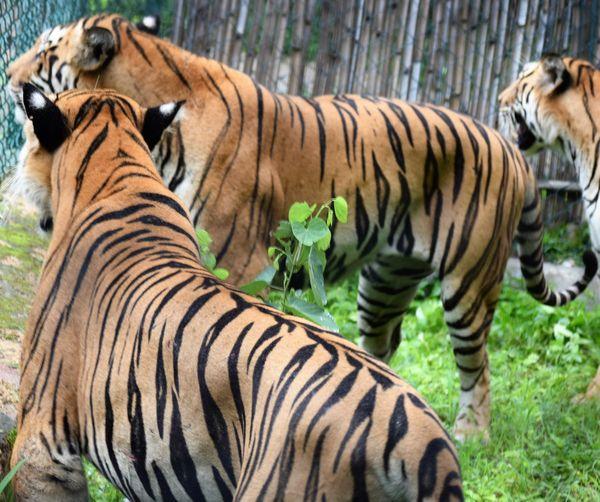 Tigers At Zoo