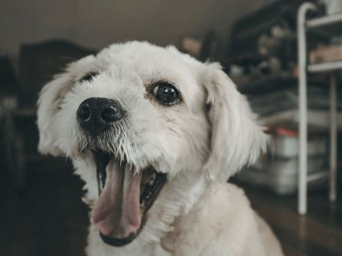 I'm trying to give you my biggest smile so you can give me my treat. Canon EOS M6 EOS M6 Day Indoors  Portrait Close-up Focus On Foreground No People Animal Themes Mammal Domestic Animals One Animal Pets Dog EyeEm Selects Pet Portraits Eyeem Philippines