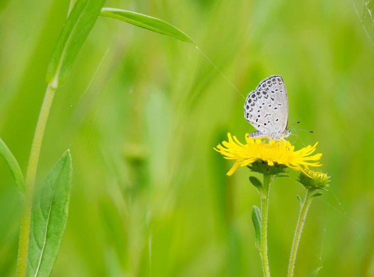 優しい夢を… ゴマシジミチョウ 蝶々 Butterfly Collection Butterfly - Insect Insect Collection EyeEm Nature Lover EyeEm Best Shots Green Nature EyeEm Gallery Eyemphotography Taking Photos EyeEm Best Shots - Nature