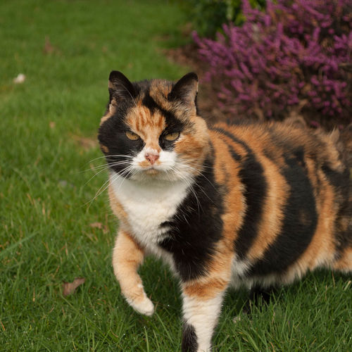 Close-Up Of Cat Relaxing On Grassy Field
