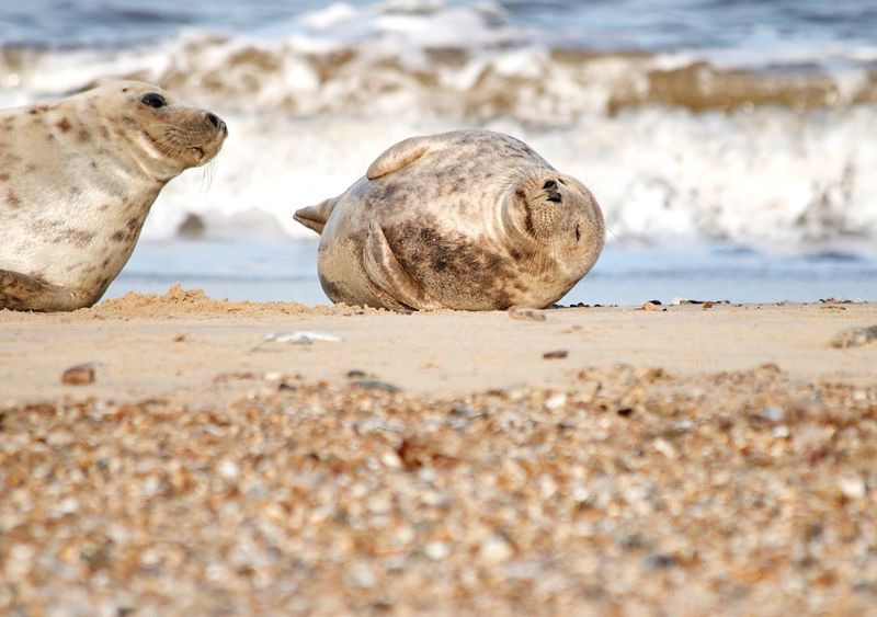 Sleepy Seal & Friend Beach Sand Animals In The Wild Sea Seal - Animal Animal Themes Shore Animal Wildlife Nature Seal Day Sea Life Relaxation Aquatic Mammal No People Sleepiness Sleepy Sleepyhead Two Seals Mammal Outdoors One Animal Water Sommergefühle