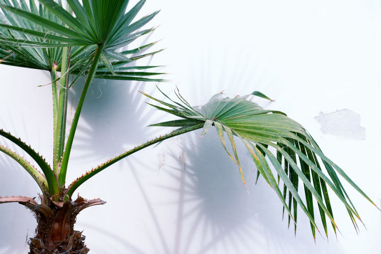 Palm Tree Growing Against White Wall