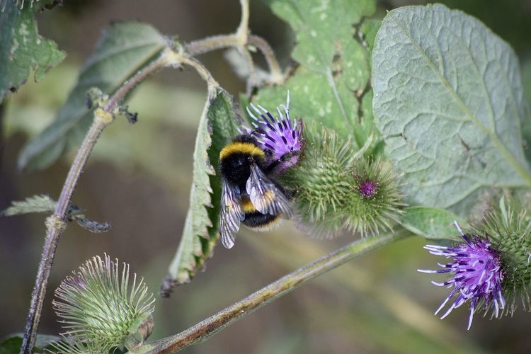 Nikon Animal Animal Themes Animal Wildlife Animals In The Wild Beauty In Nature Bee Bumblebee Close-up Flower Flower Head Flowering Plant Focus On Foreground Fragility Growth Insect Invertebrate No People One Animal Outdoors Petal Plant Pollination Purple Vulnerability