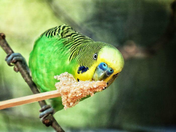 Parakeet EyeEm Nature Lover Bird Photography Animal Themes Domestic Animals Outdoors Captivity Perching Bird Parrot Close-up