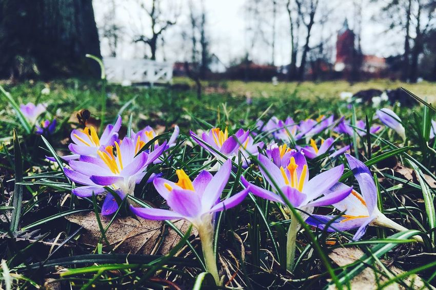 Flower Nature Beauty In Nature Petal Growth Freshness Fragility Outdoors Day Purple Flower Head Crocus No People Plant Blooming Focus On Foreground Close-up Grass Tree