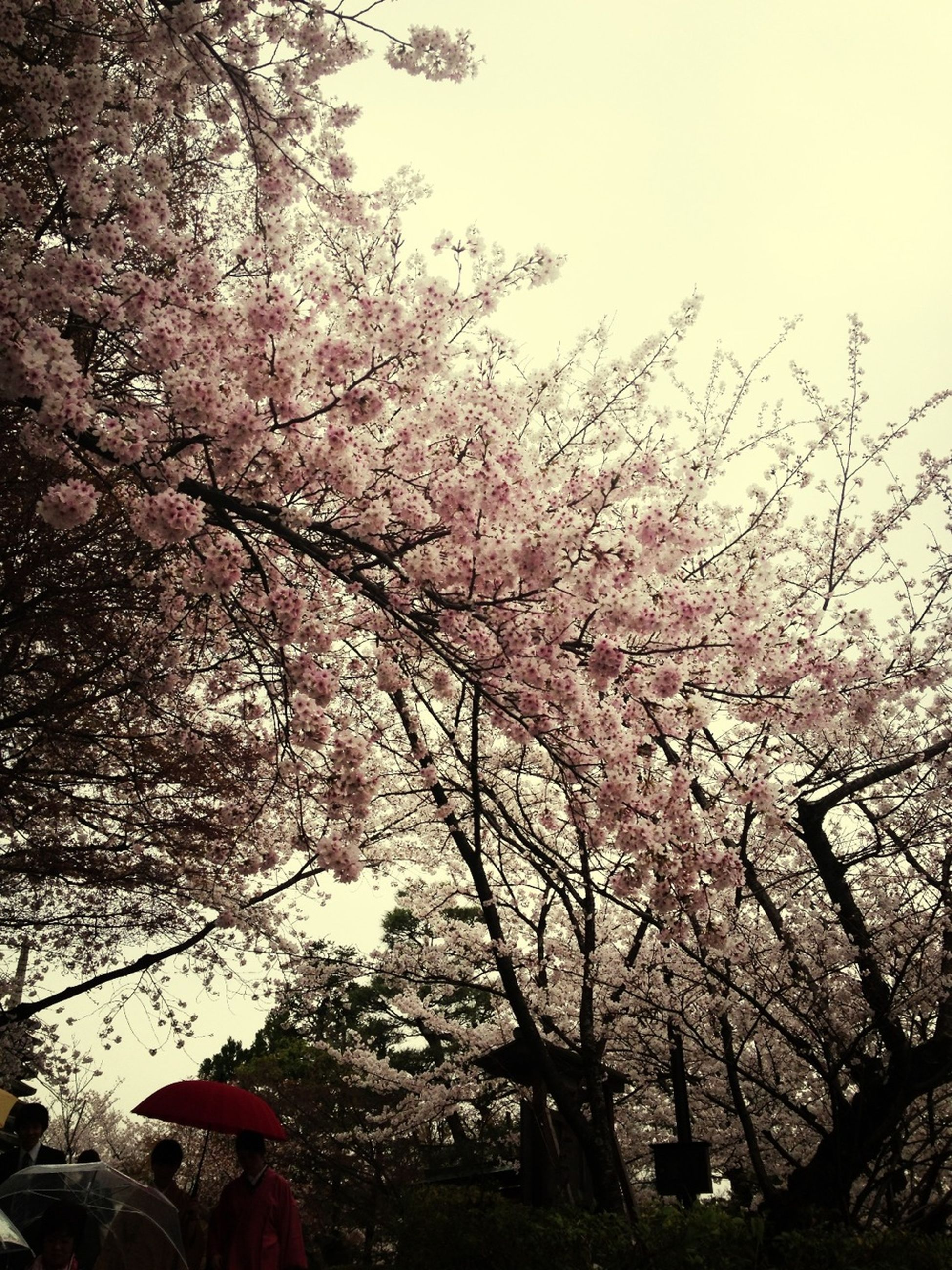 tree, branch, low angle view, flower, pink color, growth, cherry tree, sky, beauty in nature, cherry blossom, nature, clear sky, blossom, freshness, fragility, day, outdoors, springtime, pink, no people