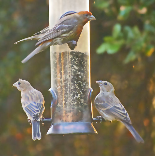 Backyard Bird Series Bird Close-up Feeding  Finches No People Outdoors Perching Birds