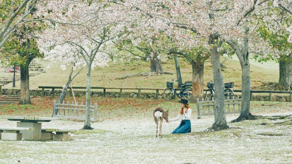 TCPM Nara Park Real People Outdoors Nature Togetherness Nature Animallovers Cute Animals Deer Calm Japanese Culture Japanese Temple Japanese Garden Fresh Sakura Sakura Blossom Cherry Blossoms Cherryblossom Cherry Blossom Festival Travel Destinations Fujifilm Beautiful Landscapes