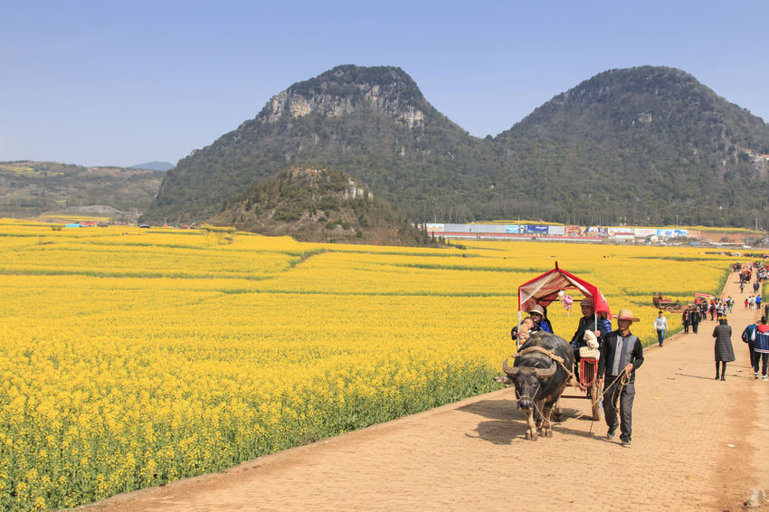 Luoping, China - February 28, 2016: Man riding a waterbuffalo for the tourists among the rapeseed flowers fields of Luoping in Yunnan China . ASIA Beauty In Nature Bees China Honey HoneyBee Landscape Leisure Activity Lifestyles Luoping Minority Mountain Mountain Range Nature Rapeseed Rapeseed Blossom Rapeseed Field Scenics Sky Tradition Tranquil Scene Tranquility Yellow Yunnan Yunnan ,China