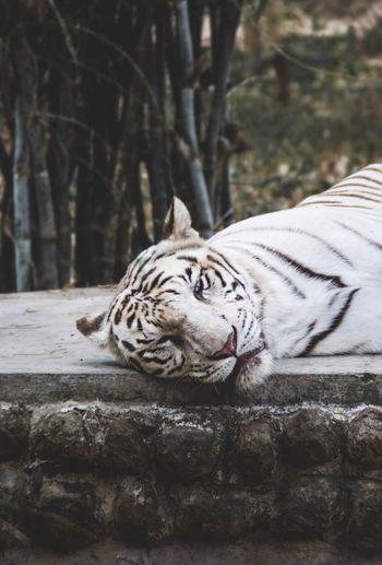 Portrait Of Tiger Lying Down On Footpath