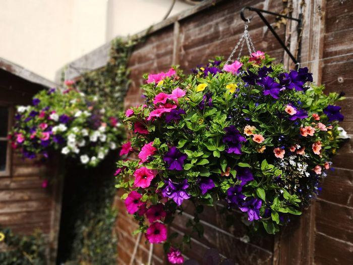 summer baskets In Bloom Flowering Plant Flower Beauty In Nature Pink Color Petunias In Full Bloom Million Bells Petunia Purple Petal Pink Flower Close-up