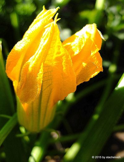 zucchini blossom, Beauty In Nature Summer In The Garden, Yellow
