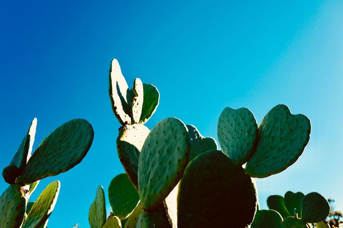 Cactus Growth Plant Nature Saguaro Cactus Green Color No People Clear Sky Beauty In Nature Prickly Pear Cactus Outdoors New Life Blue Sky Low Angle View Close-up Day Summer Exploratorium