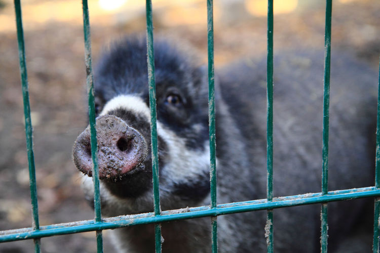 Close-up of pig in cage at zoo