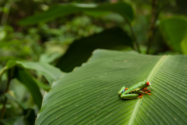 Costa Rica - January 2019 Leaf Plant Part Green Color Animal Wildlife Animals In The Wild Animal One Animal Animal Themes Close-up Nature Plant No People Day Outdoors Leaves Amphibian Frog Tree Frog Jungle Wildlife Tour Ecotourism