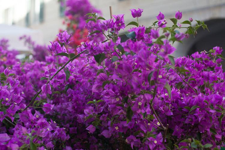 Purple bougainvilleas blooming outdoors