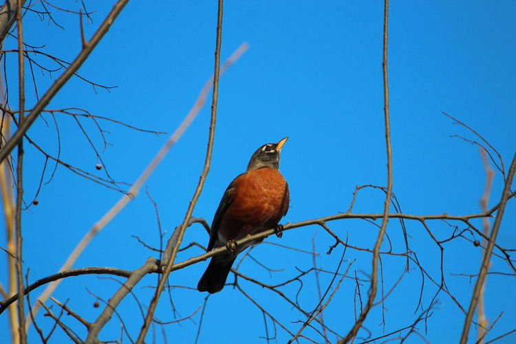 Bird Perching Vertebrate Animals In The Wild Animal Wildlife Animal Themes Animal One Animal Branch Low Angle View Tree Sky Blue Nature Bare Tree No People Clear Sky Plant Day Robin Outdoors