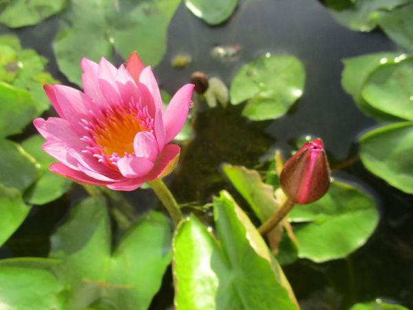 flower Lotus Flower Beauty In Nature Blooming Close-up Day Flower Flower Head Fragility Freshness Growth Leaf Lotus Water Lily Nature No People Outdoors Petal Pink Color Plant Water ดอกบัว