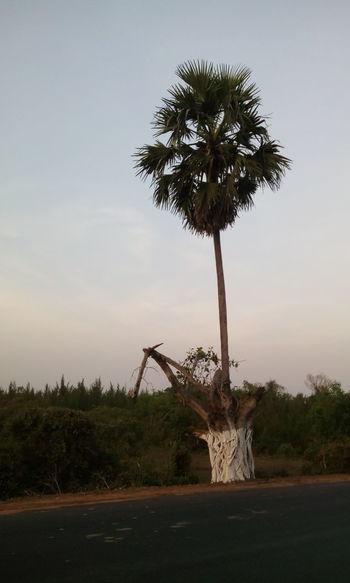 First Eyeem Photo Trees Sky Evening Sky Solo Hope Coconut Trees Road