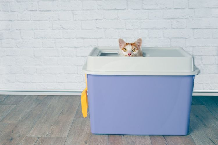 Cute tabby cat sitting in a top entry litter box and looking curious to the camera.