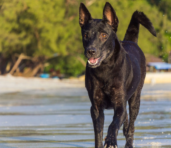 Black dog standing in water