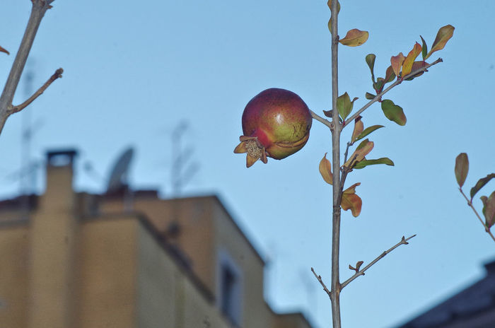 no people low angle view day close-up outdoors sky nature Pomegranate Pomegranates  Melograno Fruit Frutta Fruitphotography Naturephotography Plant Pianta Genuine Genuino