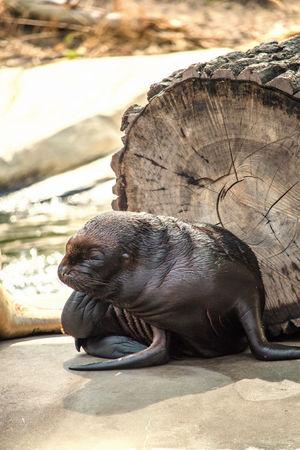South American sea lion Animal Animal Themes Animal Wildlife Animals Sea Life Aquarium Sea Lion Sea Lions South American Sea Lion Wildlife Wildlife & Nature Wildlife Photography Zoo Zoo Animals  Zooanimals ZooLife Zoology Zoophotography