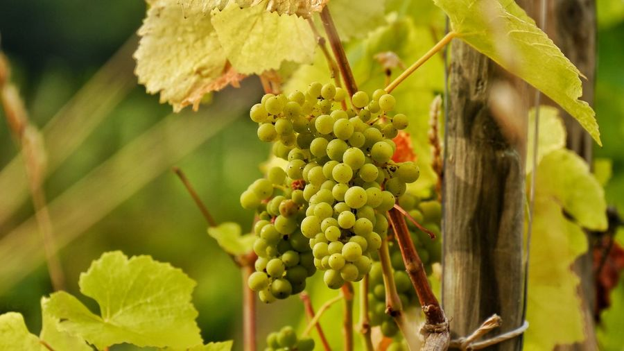 Close-up of grape growing on branch