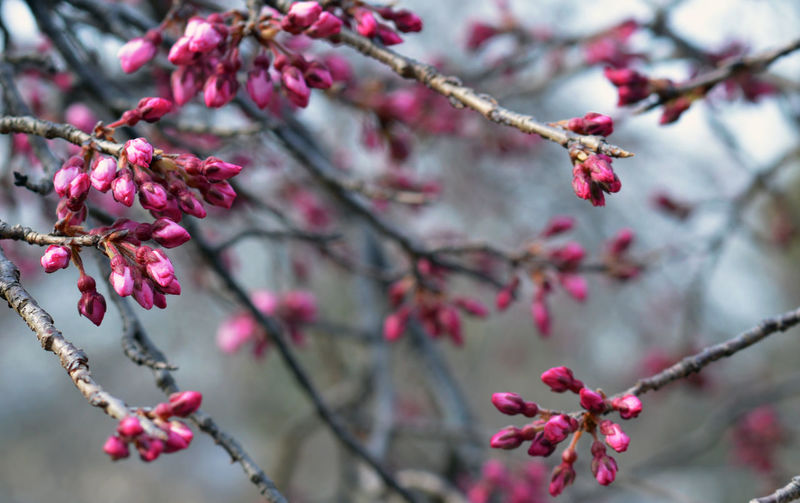 Dark pink cherry blossom buds waiting to open for the season in maruyama park in kyoto, japan
