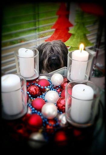 Bentjesgosaugustin Gos D'atura Mydog Ilovemydog Dog Advent I Love My Dog