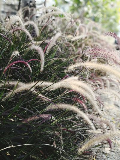 The Fountain grass by Me Fountain Grass Red Red Grass Green Close-up Grass Plant Growing Countryside Field Growth Timothy Grass