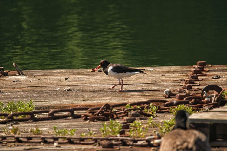 Side view of bird perching on wood against lake