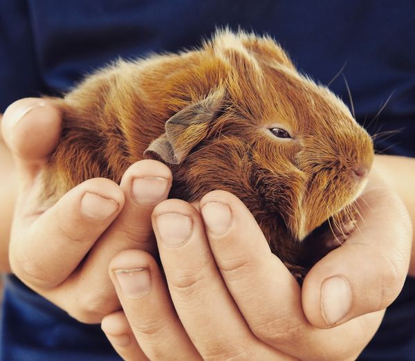 Midsection of child holding guinea pig