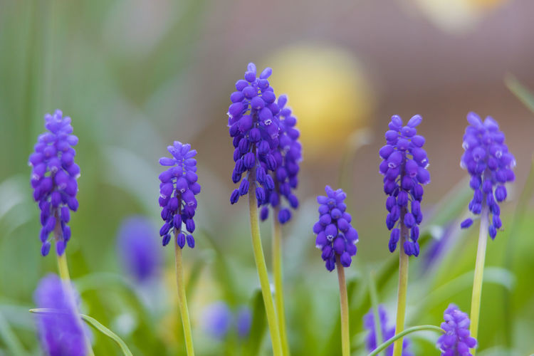 grape hyacinth Flowering Plant Flower Plant Vulnerability  Growth Fragility Beauty In Nature Freshness Close-up Purple No People Nature Petal Selective Focus Day Flower Head Grape Hyacinth Plant Stem Focus On Foreground Inflorescence Field Lavender Softness