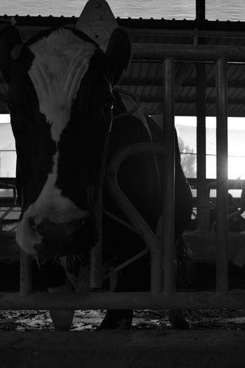Cow Black & White Village ??