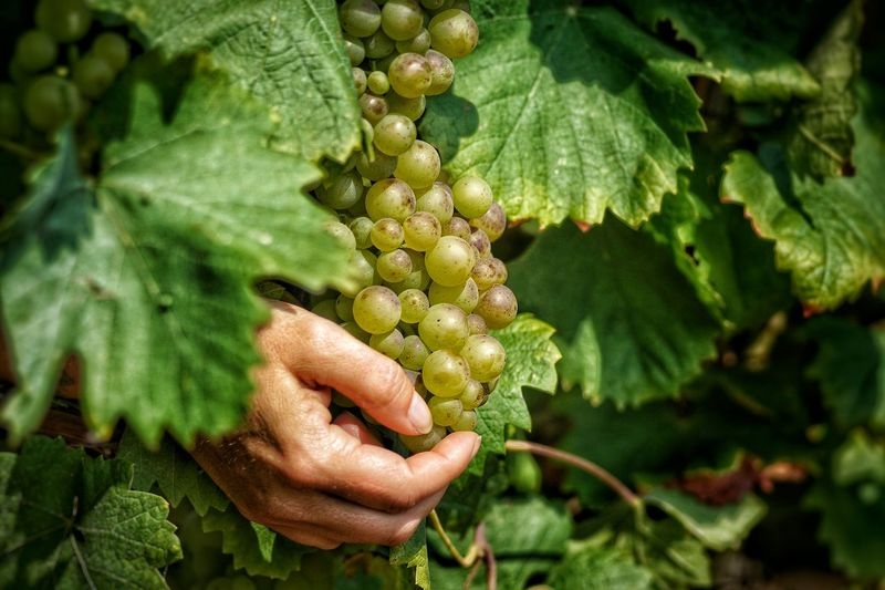 Close-Up Of Hand Picking Green Grapes