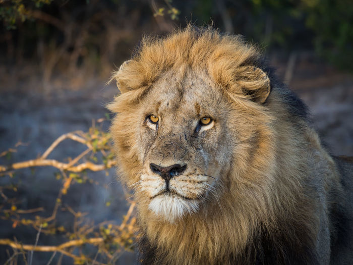 Close-up portrait of male lion with large mane looking in distance, kruger national park, south africa