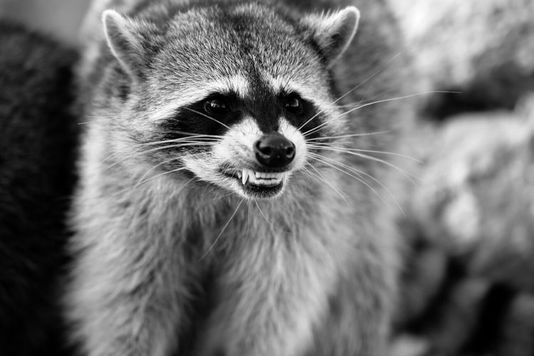 Close-Up Of Snarling Raccoon