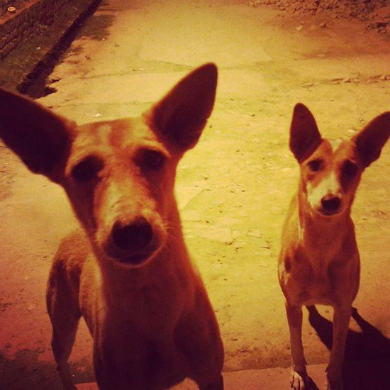 They look so innocent when their eyes are full with the hope of getting food. Street Stray Dogs Dogsdeservebetter Doglover Dogsofinstagram Animallover Night Daily Friends Food Pamper Affection Loyalty Alert BIG Ears Innocence Random Shot Shadows Eyes Doubletap Instagood Fun cutelovedogsadorableinstadogmoment
