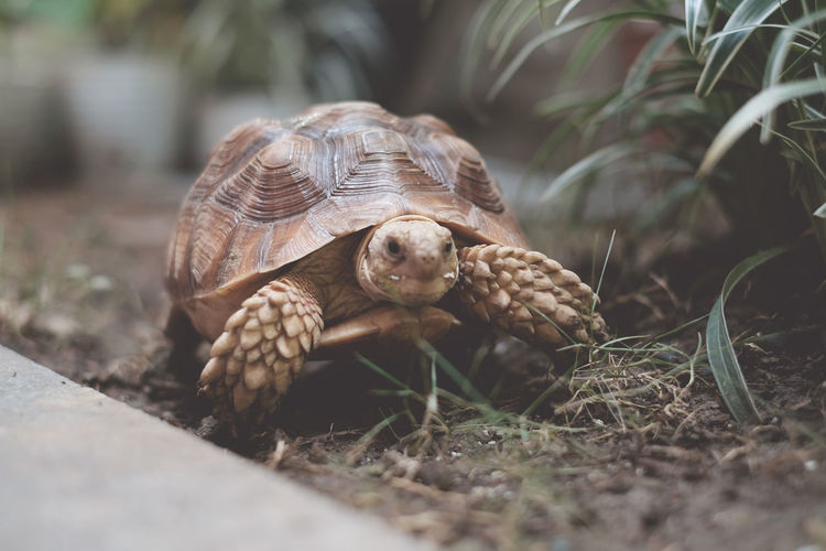 Close-up of sulcata tortoise  on field