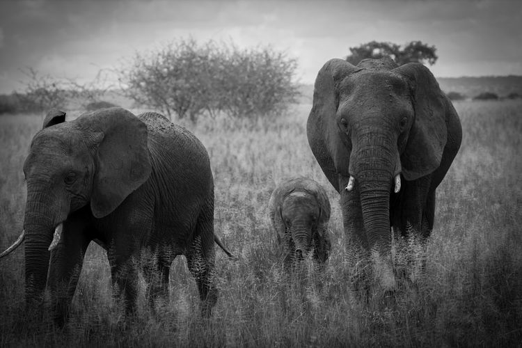 Elephant family walking on field against sky