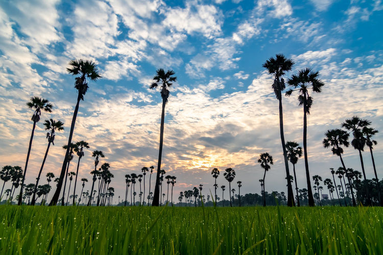 Sunrise at Dong Tan, Pathum Thani Plant Sky Growth Beauty In Nature Land Field Cloud - Sky Tranquility Sunset Tranquil Scene Nature Tree Grass Scenics - Nature Environment No People Landscape Green Color Palm Tree Tropical Climate Outdoors Coconut Palm Tree