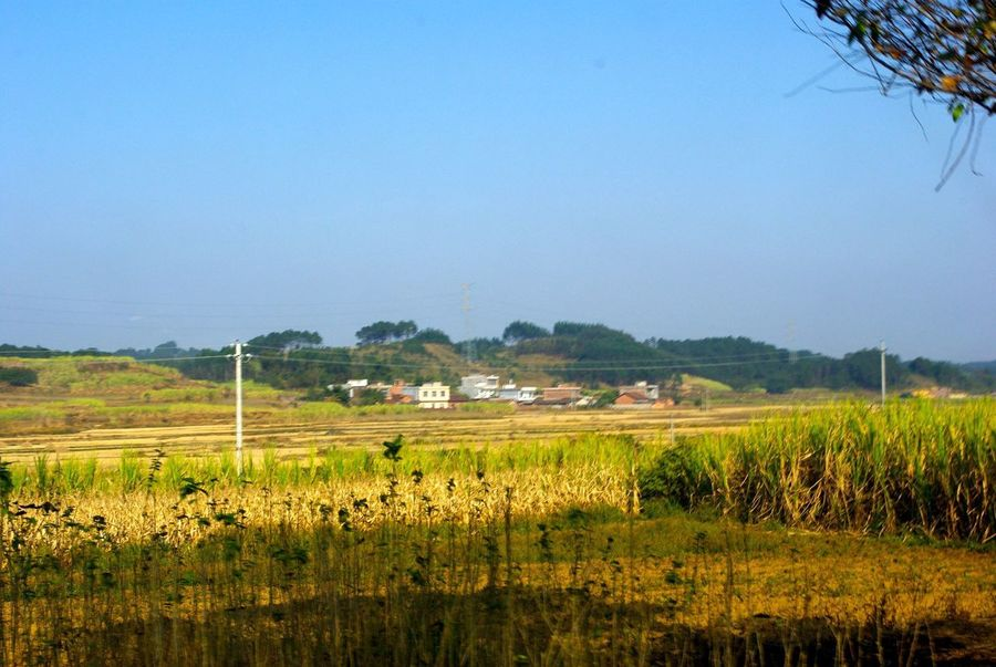 Agriculture Field Farm Nature Crop  Landscape Rural Scene Growth No People Outdoors Tranquility Scenics Rice Paddy Beauty In Nature Tranquil Scene Cereal Plant Tree Grass Day Sky