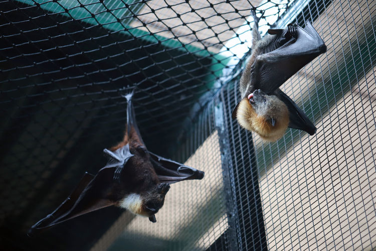 Two Bats, Hanging Lyle's flying fox Bat Flying Fox Hanging Animal Animal Themes Animal Wildlife Animals In Captivity Animals In The Wild Cage Close-up Day Fence Flying Group Of Animals Indoors  Mammal Metal Nature No People Vertebrate 17.62°