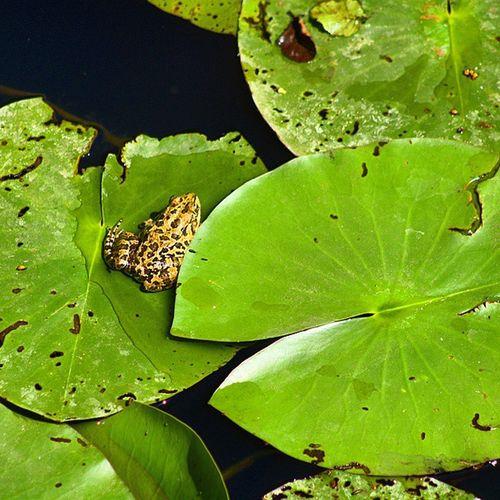 Acarlar Longozu! Turkey Karasu Kaynarca Acarlar longoz kurbağa nilüfer frog lotus follwback follower followforfollow follow4follow f4f followbacknow