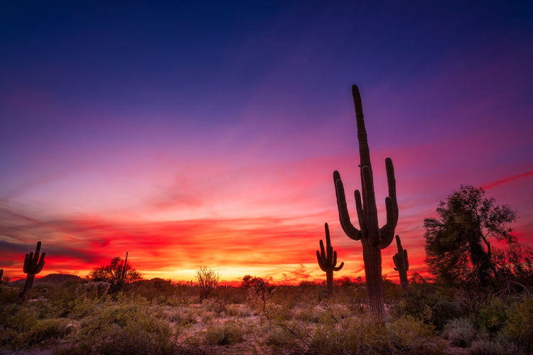 A dramatic sunset sky illuminates a saguaro cactus in the sonoran desert near phoenix, arizona.
