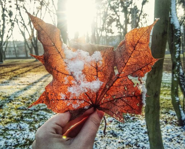 Close-up of person holding maple leaves during autumn