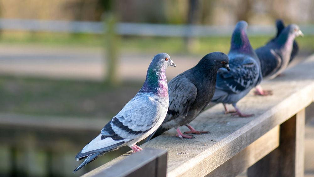 Columba Livia Domestica Doves Dove Hampstead Heath Pigeons Hampstead Heath Ponds London Doves London Pigeons Pigeons Team Pigeon