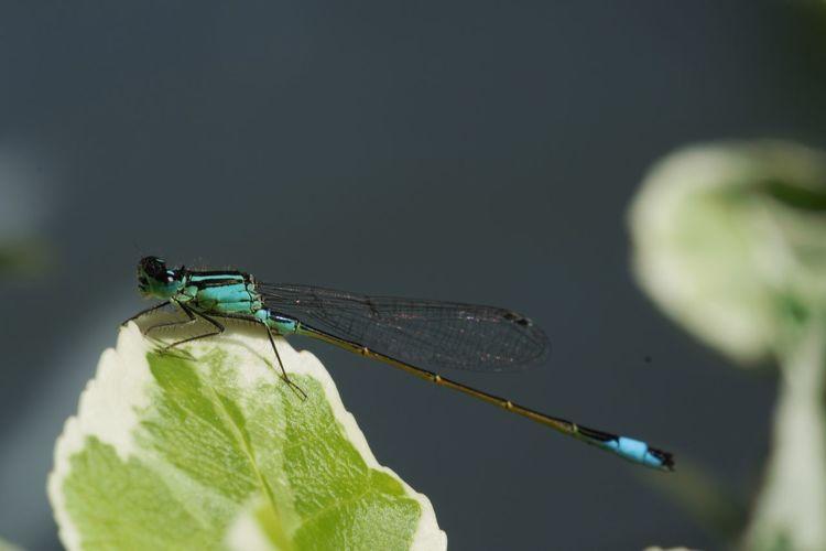 #Dragonfly #libelle #macro #macrolens #MacroShot #sonya77ii Beauty In Nature Close-up EyeEm Nature Lover Outdoors