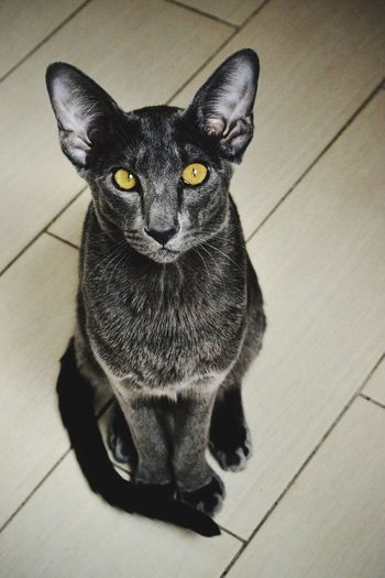 Pets Domestic Animals Domestic Cat Mammal Feline First Eyeem Photo